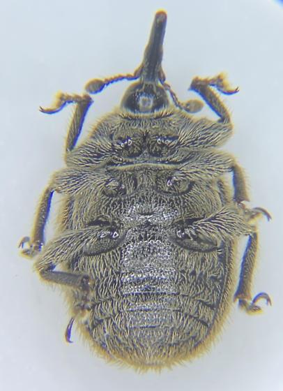 CURCULIONIDAE - Rhinusa tetra? - European curculionid weevil - Rhinusa tetra