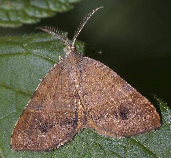Small orangish moth - Mellilla xanthometata