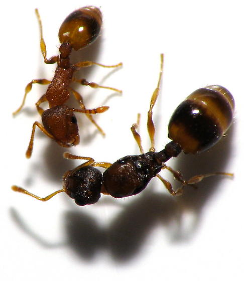 Queen Size Comparison - Orange Acorn Ants - Temnothorax curvispinosus