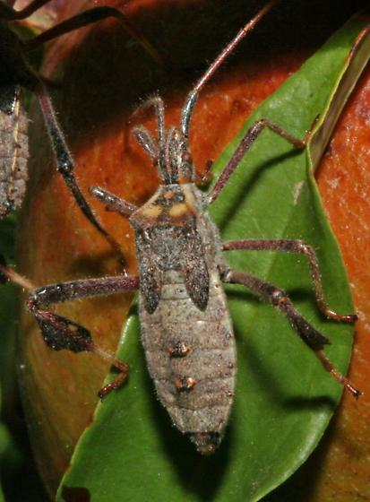 Bugs on Pomegranate Tree - Leptoglossus zonatus