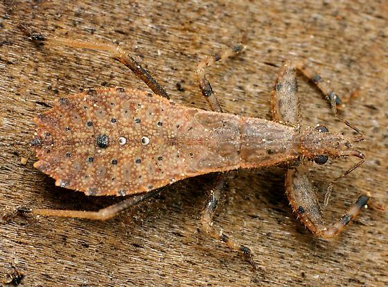Bug ID - Ctenotrachelus shermani