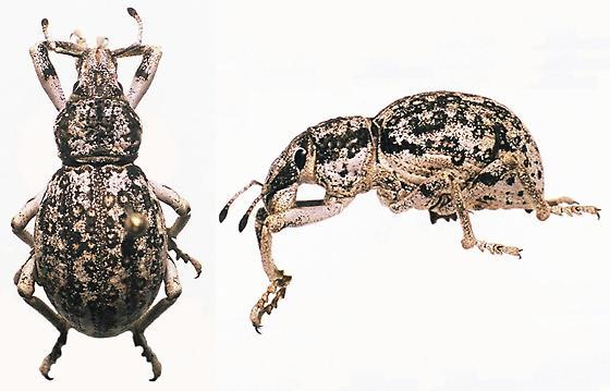 Large weevil with circular markings - Ophryastes nivosus