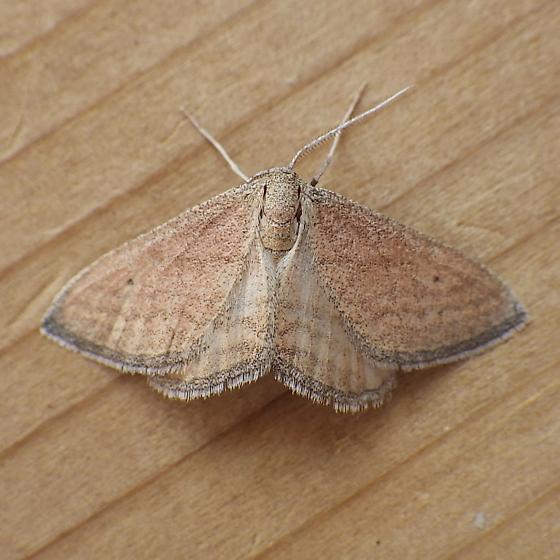 Geometridae: Lobocleta plemyraria - Lobocleta plemyraria