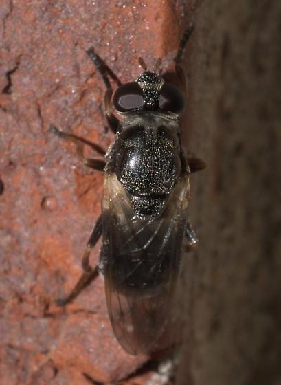 Dark fly with light armpits. - Myolepta
