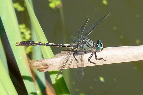 Clubtail - Arigomphus villosipes