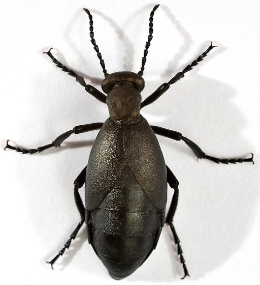 Oil beetle (dorsal) - Meloe campanicollis - female