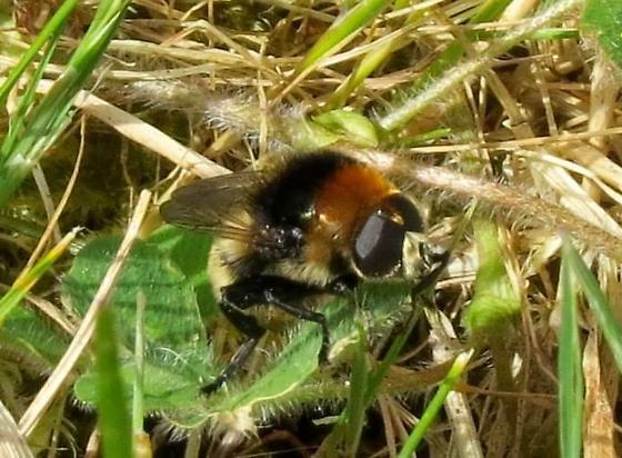 Bumble bee mimic - Merodon equestris