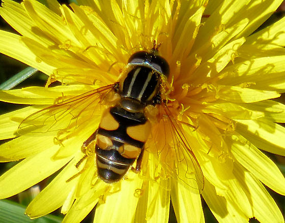 Type of Bee or Other Insect? - Helophilus fasciatus - male