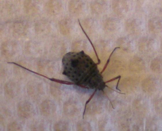 Spotted horn bug - Tuberolachnus salignus