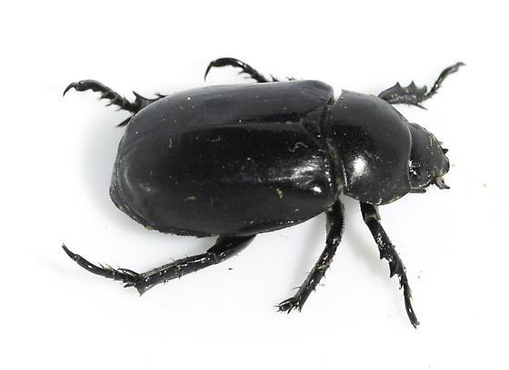 Black scarab from the Santa Cruz River - Pelidnota lugubris