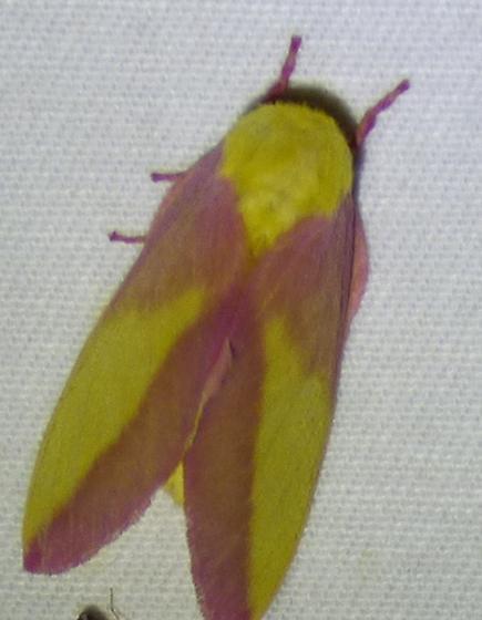 rosy maple - Dryocampa rubicunda