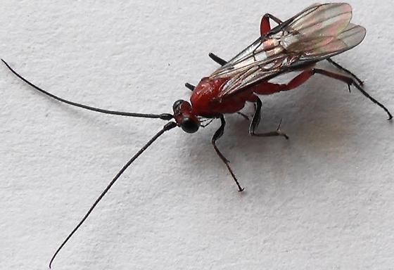 Dark Legs - Zelomorpha arizonensis - female