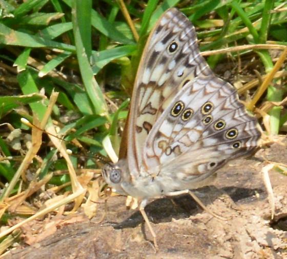 Hackberry Emperor Butterfly? - Asterocampa celtis