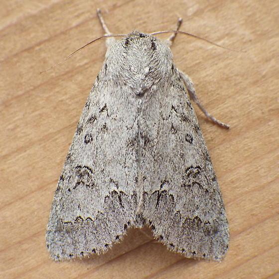 Noctuidae: Acronicta dactylina - Acronicta insita