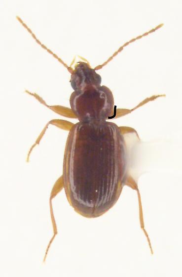 Trechus apicalis