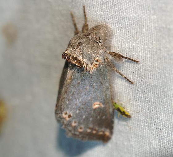 moth - Theroa zethus