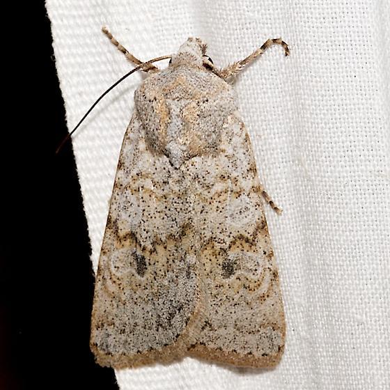 10813 – Median-banded Dart Moth - Euxoa medialis