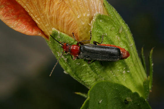 Red beetle with black legs and wing covers - Podabrus conspiratus
