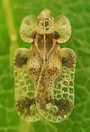Lace Bug, maybe Corythucha pallipes