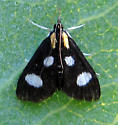Moth ID - Anania funebris