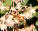 Potter Wasp - Eumenes