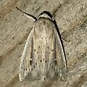 Leucania amygdalina