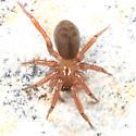 spider - Cicurina brevis