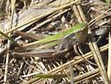 Orphulella speciosa - female
