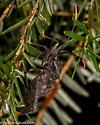 Leaf footed bug? - Acanthocephala terminalis