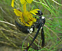 Wasp, black with white - Monobia quadridens