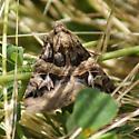 Unknown Moth sp  - Drasteria divergens