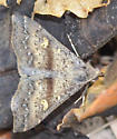 owlet moth - Renia salusalis