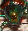 Beetle - Chrysochus auratus