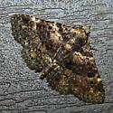 Moth - Metalectra discalis