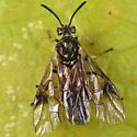 sawfly - Arge macleayi - female