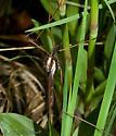 Large Crane Fly - Holorusia hespera - female