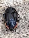 Oiceoptoma noveboracense - Margined Carrion Beetle - Oiceoptoma noveboracense