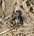 Field Cricket - Gryllus pennsylvanicus - female