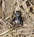 Field Cricket - Gryllus pennsylvanicus - female