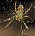 Small green spider on flat web - Mangora maculata