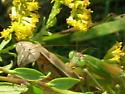 mating Chinese mantids? - Tenodera sinensis