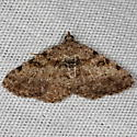 Hollow-spotted Angle Moth - Digrammia gnophosaria
