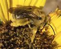 Large chunky brown bee - Diadasia enavata