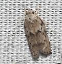Dotted Antaeiotricha Moth, Antaeotricha humilis  - Antaeotricha humilis
