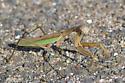 Large Mantis - Tenodera sinensis