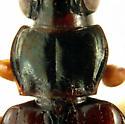 Bembidion (Trichoplataphus) planum (Haldeman, 1843)  - Bembidion planum