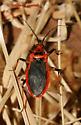 Colorful Assassin - Rhiginia cruciata