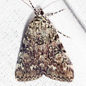 Little Lined Underwing Moth - Hodges #8878.1 - Catocala amica-lineella
