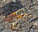 Bee or fly - Callicera erratica - female