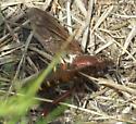 Large wasp mimic (2) - Mydas maculiventris